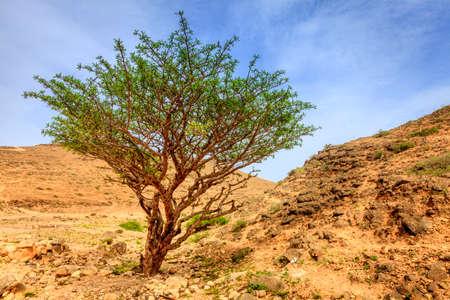 Wierook boom groeit in een woestijn in de buurt van Salalah, Oman