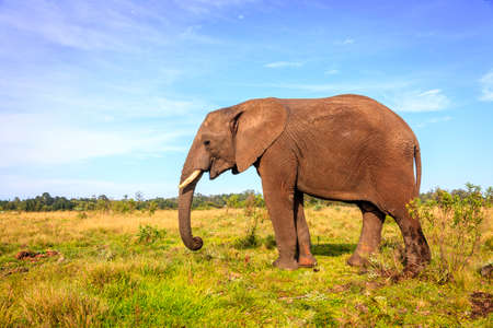 rescued: Young rescued elephant in Knysna Elephant Park, South Africa