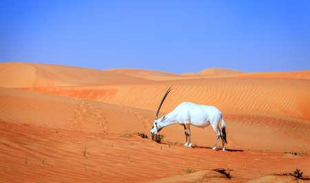 Oryx or Arabian antelope in the Desert Conservaion Reserve near Dubai, UAE