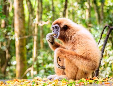 Lar or white-handed gibbon at primate rescue center near Plettenberg Bay, South Africa Stock Photo