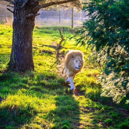 White lion running in wildlife sanctuary near Plettenberg Bay, South Africa