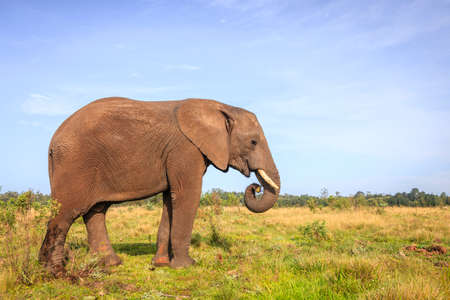 conservation grazing: Young rescued elephant in Knysna Elephant Park, South Africa