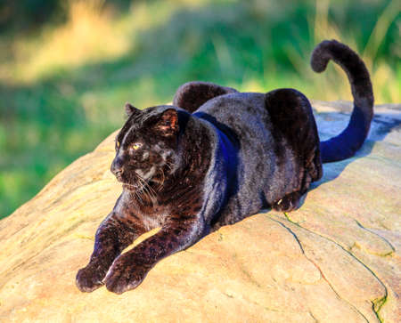 Black Panther at wildlife sanctuary near Plettenberg Bay, South Africa