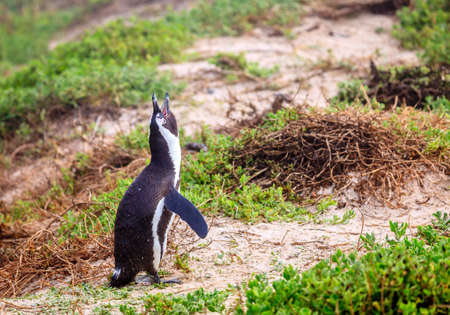 African Penguin at Boulder Beach in Simons Town, South Africa