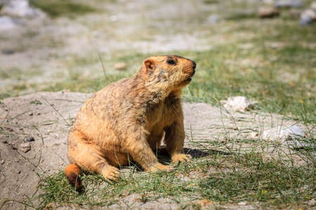 Himalayan marmot in highlands of Kashmir in India Stock Photo