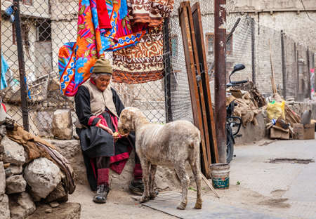 Leh, Ladakh, India, July 12, 2016: elderly woman in feeding a sheep on the street in the city of Leh, Ladakh district of Kashmir, India
