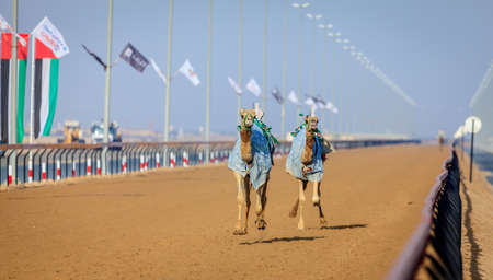 Camels with robot jokeys at racing practice near Dubai, UAE Stock Photo