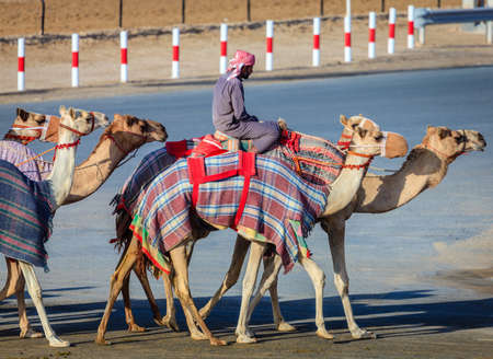 handlers: Dubai, United Arab Emirates - March 25, 2016: Camel handlers are taking the animals for the race practice at Dubai Camel Racing Club