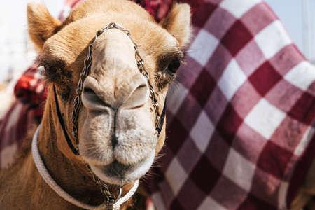 Portrait shot of a camel at Dubai Camel Racing Club, UAE