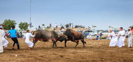 Fujairah, UAE, April 1, 2016: men are pulling apart fighting bulls in a traditional bull fighting event in Fujairah, UAE