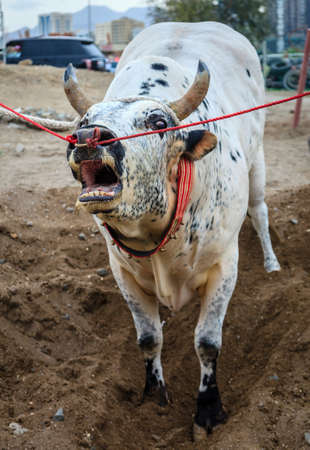 Bulls are tied as they await their turn to fight in traditional bull fighting in Fujairah, UAE 版權商用圖片