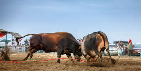 Bulls are fighting in a traditional competition in Fujairah, UAE Stock Photo