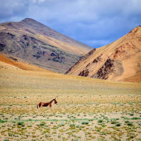 Tibetan Wild Ass or Kyang on Changthang plateau in Ladakh, India