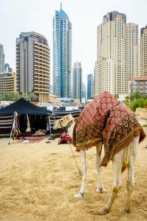 Camel on the Beach at Jumeirah Beach Residence in Dubai Editorial