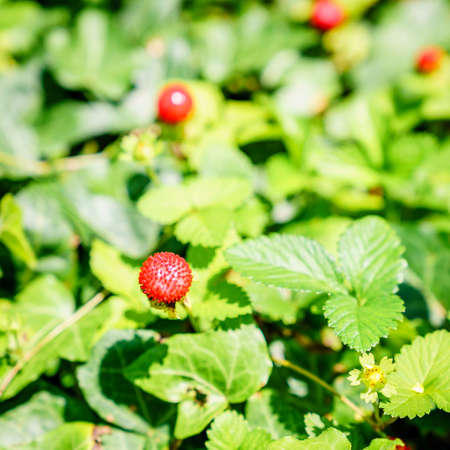 Close-up image of a wild strawberry in a garden Stock Photo