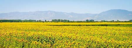 Beautiful view of the field of sunflowers with mountains in the background in central Bulgaria