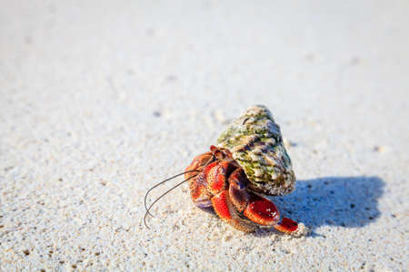 Hermit crab crawling on a beach in British Virgin Islands