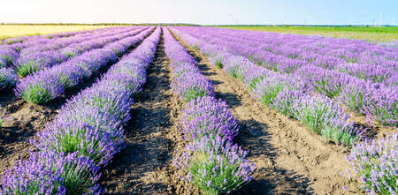 Rows of blooming lavender in a field in Bulgaria Stock Photo