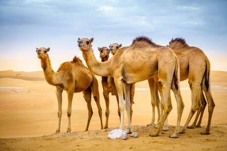 A herd of wild camels in the desert near Al Ain, UAE