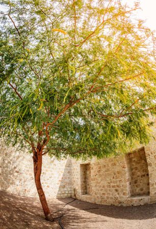 Fisheye image of an acacia tree in a corner of a couryard in Sharjah, UAE
