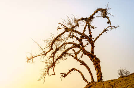 Dry acacia tree in a desert against sunset sky in Ras Al Khaimah, UAE