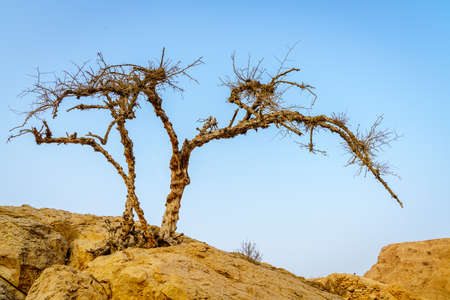 Dry acacia tree in a desert in Ras Al Khaimah, UAE Stock Photo