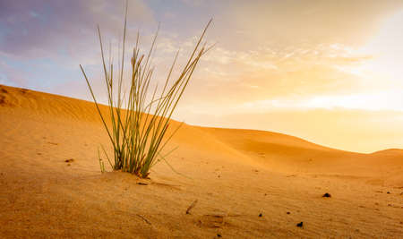 Grass growing in the sand in the desert near Al Ain, UAE Stock Photo