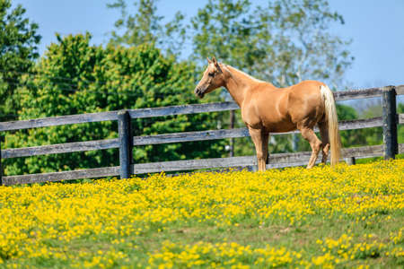 Beautiful palomino mare on a farm in Central Kentucky