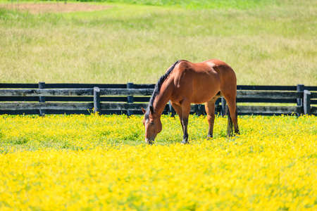 Beautiful chestnut mare on a farm in Central Kentucky Stock Photo