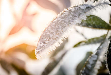 Closeup image of ice crystals covering leaves after ice storm Stock Photo