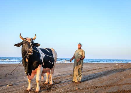 Sohar, Oman, May 28, 2016: A local man with his bull at a beach in Sohar, Oman