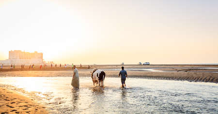 Sohar, Oman, May 28, 2016: Local men are bathing a bull at a beach in Sohar, Oman Editöryel