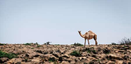 A lone camel on Jebel Samhan plateau near Salalah in Oman