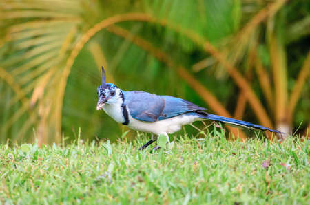 White-throated magpie-jay bird at Rincon de la Vieja National Park in Costa Rica