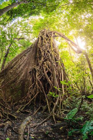 Strangler fig tree in Rincon de la Vieja National Park