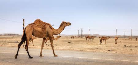 A camel is crossing the road near Salalah, Oman