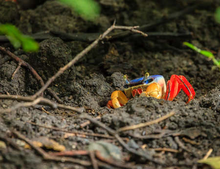 Close-up image of a red land crab in Santa Rosa National Park in Costa Rica