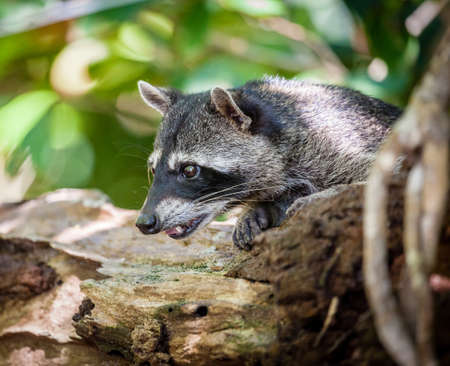 Portrait of a baby racoon in a park in Costa Rica Stock Photo