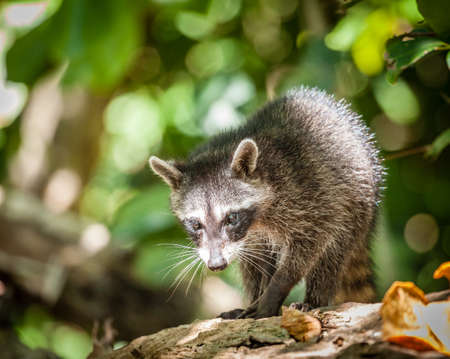 Portrait of a baby racoon in a park in Costa Rica