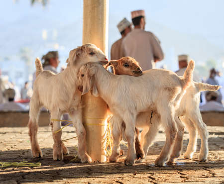 Young goats on display at goat market in Nizwa, Oman