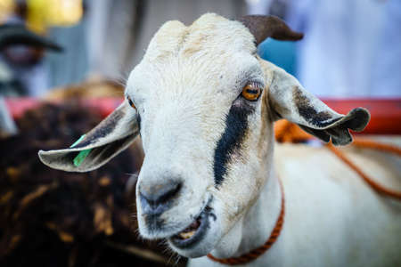 Close-up portrait of a goat at the goat market in Nizwa, Oman