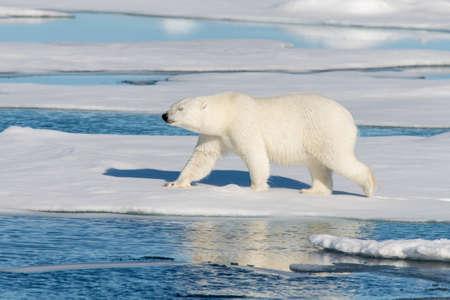 polar environment: polar bear