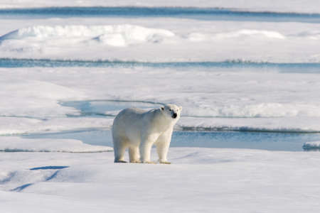 spitsbergen: Polar bear on the pack ice north of Spitsbergen