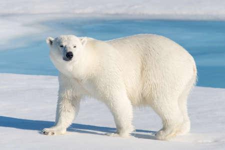 Ijsbeer op het pakijs noorden van Spitsbergen