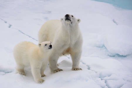 ice floe: Polar bear (Ursus maritimus) mother and cub on the pack ice, north of Svalbard Arctic Norway Stock Photo