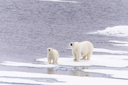 북극곰 (Ursus maritimus) 어머니와 새끼 북극 스발 바르 북쪽의 팩 얼음에