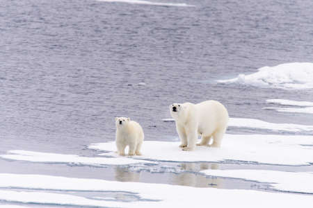 Polar bear (Ursus maritimus) mother and cub on the pack ice, north of Svalbard Arctic Norway Foto de archivo