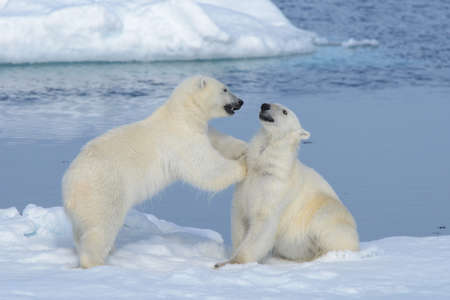 Two polar bear cubs playing together on the ice north of Svalbard 스톡 콘텐츠