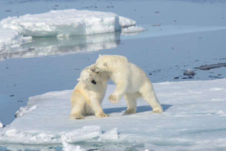 Two polar bear cubs playing together on the ice north of Svalbard Zdjęcie Seryjne