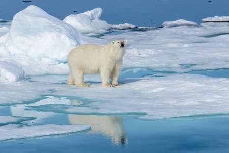 Niedźwiedź polarny (Ursus maritimus) na lodzie na północ od wyspy Spitsbergen, Svalbard, Norwegia